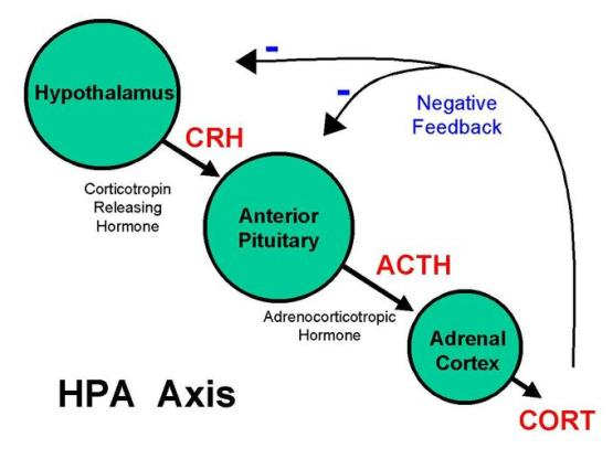 This is a diagram of the mechanism of stress and stress response in the HPA axis. The hypothalamus secretes corticotropin releasing hormone and the anterior pituitary responds by releasing adrenocortictotropic hormone, that causes the adrenal cortex to activate a physical response.