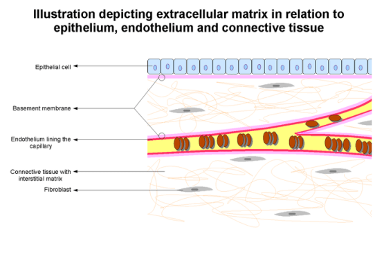 This is a diagram of the extracellular matrix. It shows the spatial relationship between the blood vessels, basement membranes, and interstitial space between structures.