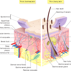 Dermis Layer Diagram 1993 Honda Accord Parts The Skin Boundless Anatomy And Physiology