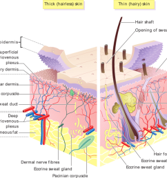 accessory structures of the skin boundless anatomy and physiology pig skin diagram [ 1024 x 796 Pixel ]