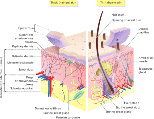 small resolution of accessory structures of the skin boundless anatomy and physiology pig skin diagram