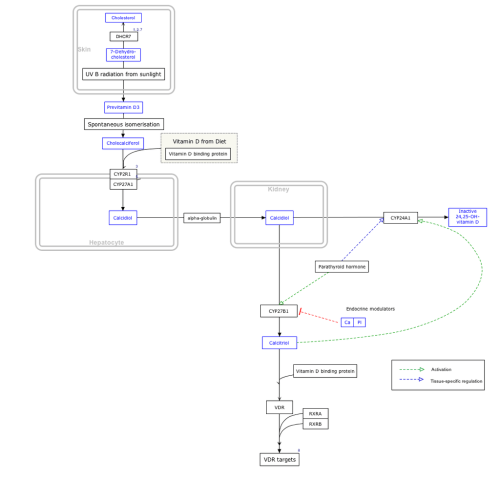small resolution of this is a diagram of how vitamin d is metabolized it shows the pathway map