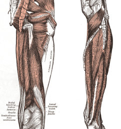a posterior muscles of the thigh and b posterior region of the lower leg the biceps femoris and synergistic semitendinosus and the semimembranosus  [ 744 x 1066 Pixel ]