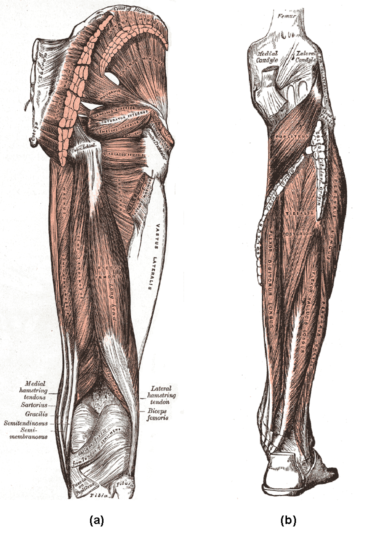 hight resolution of  a posterior muscles of the thigh and b posterior region of the lower leg the biceps femoris and synergistic semitendinosus and the semimembranosus