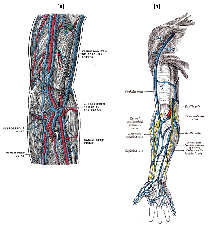 human vascular anatomy diagram peugeot 206 radio wiring circulatory routes boundless and physiology a of the deep veins upper extremity indicates venae comites brachial