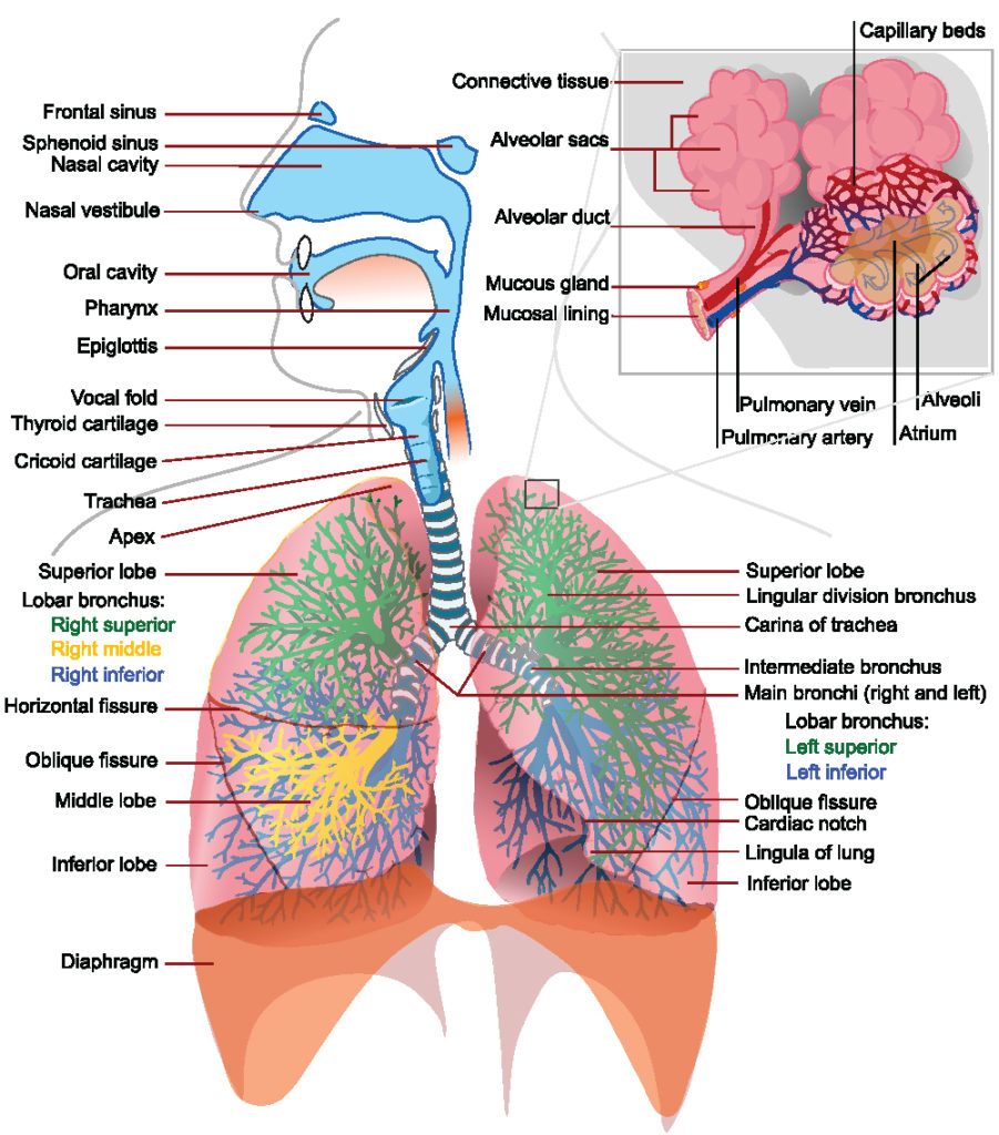 hight resolution of this is a schematic drawing of the entire respiratory tract include inner details such as