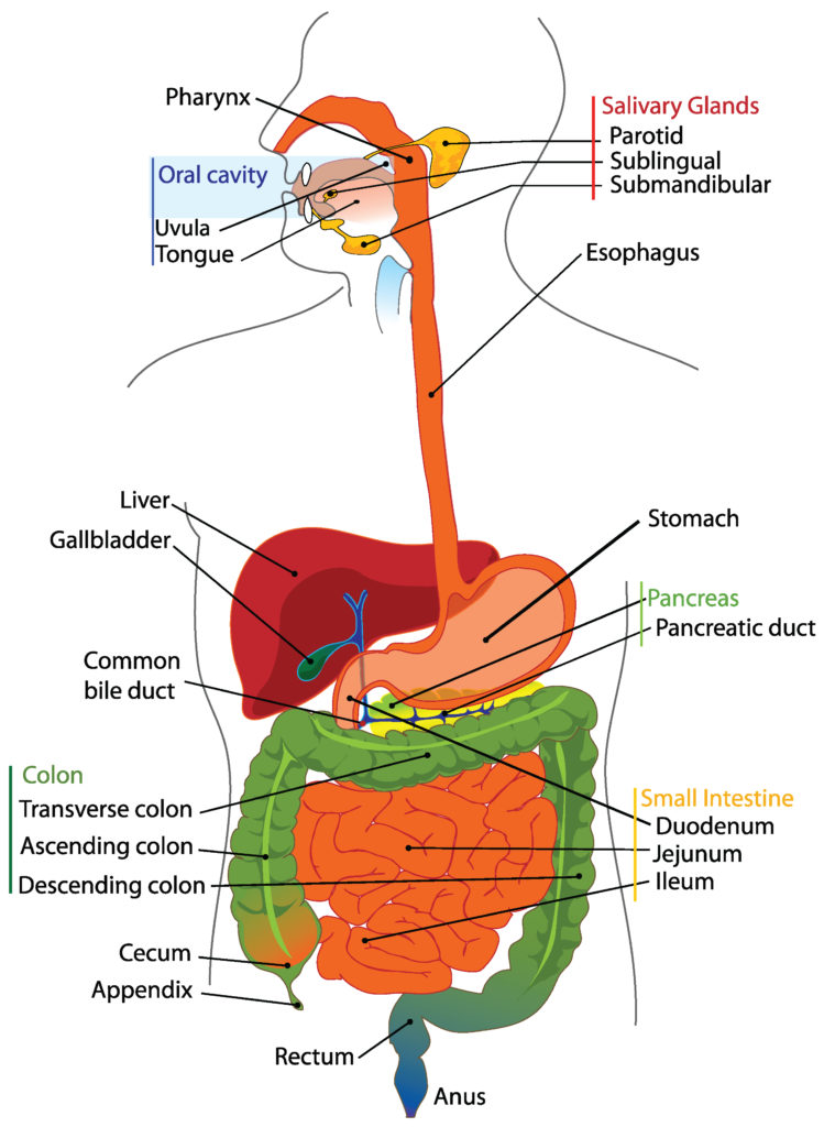 11 Digestive System Parts, Definition, Functions, and Organs