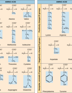 Types of amino acids also proteins boundless chemistry rh coursesmenlearning