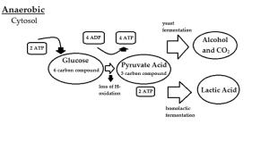 Anaerobic Respiration | Boundless Microbiology