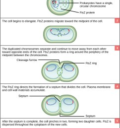 this illustration shows binary fission in prokaryotes replication of the single circular chromosome begins [ 800 x 1207 Pixel ]