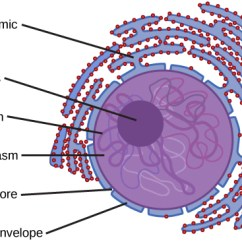 Eukaryotic Endomembrane System Cell Diagram Club Car Xrt 800 The Biology For Non Majors I Nucleus