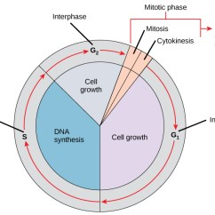 Phase Diagram Quizlet Pertronix Ignitor Wiring The Cell Cycle | Biology I