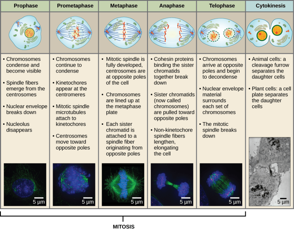 hight resolution of this diagram shows the five phases of mitosis and cytokinesis during prophase the chromosomes