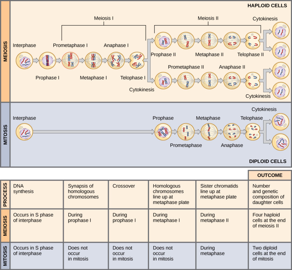 The Process Of Meiosis