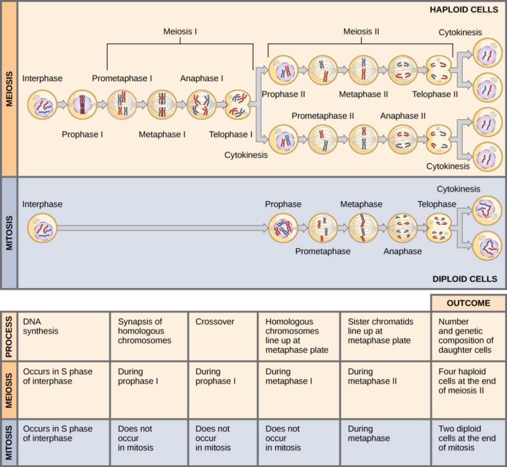 medium resolution of this illustration compares meiosis and mitosis in meiosis there are two rounds of cell