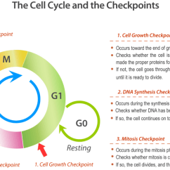 Drag The Diagram Of Stages Meiosis How To Wire A Transformer Cell Cycle Checkpoints | Biology For Non-majors I
