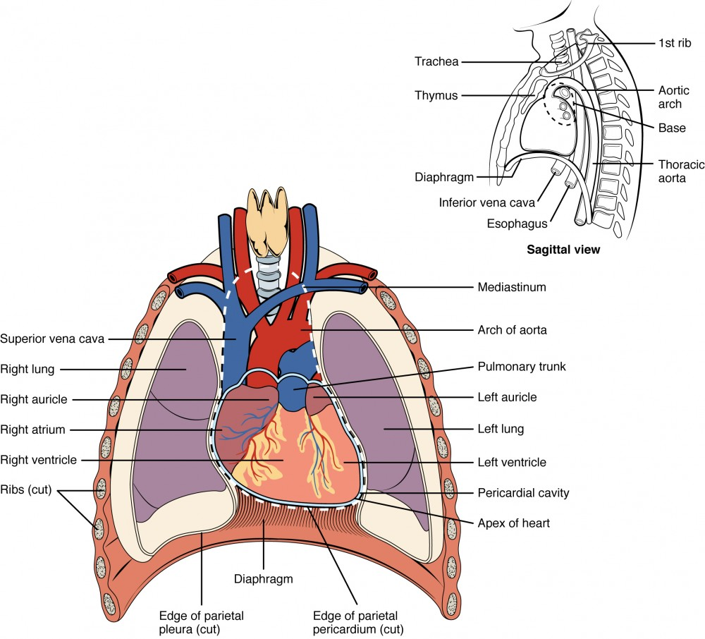 hight resolution of this diagram shows the location of the heart in the thorax