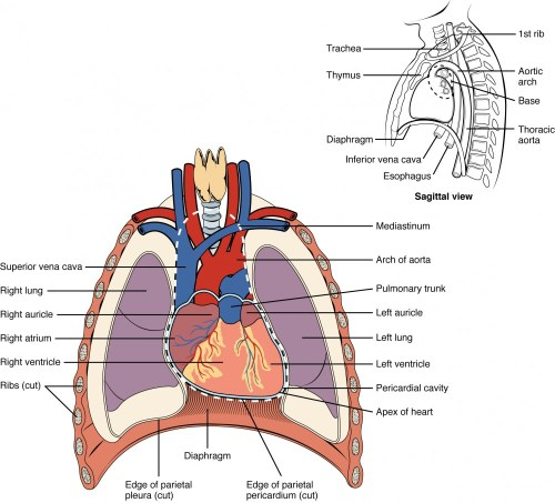 small resolution of this diagram shows the location of the heart in the thorax