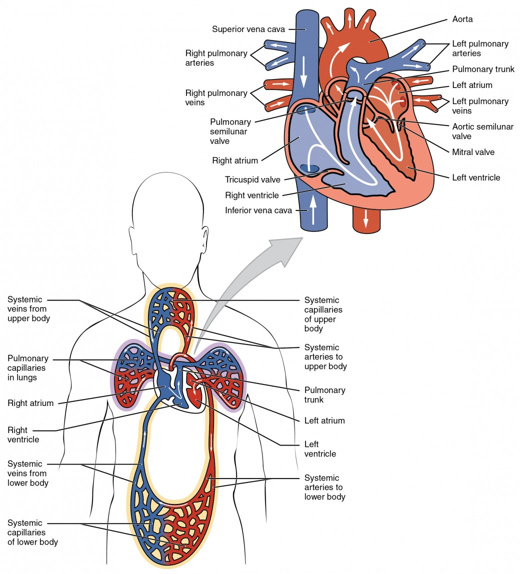 hight resolution of the top panel shows the human heart with the arteries and veins labeled the bottom