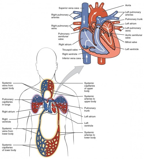 small resolution of the top panel shows the human heart with the arteries and veins labeled the bottom