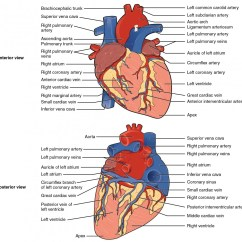 Cardiac Arteries Diagram Oil Burner Wiring Heart Anatomy And Physiology