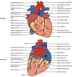 the top panel shows the anterior view of the heart and the bottom panel shows the [ 1060 x 996 Pixel ]