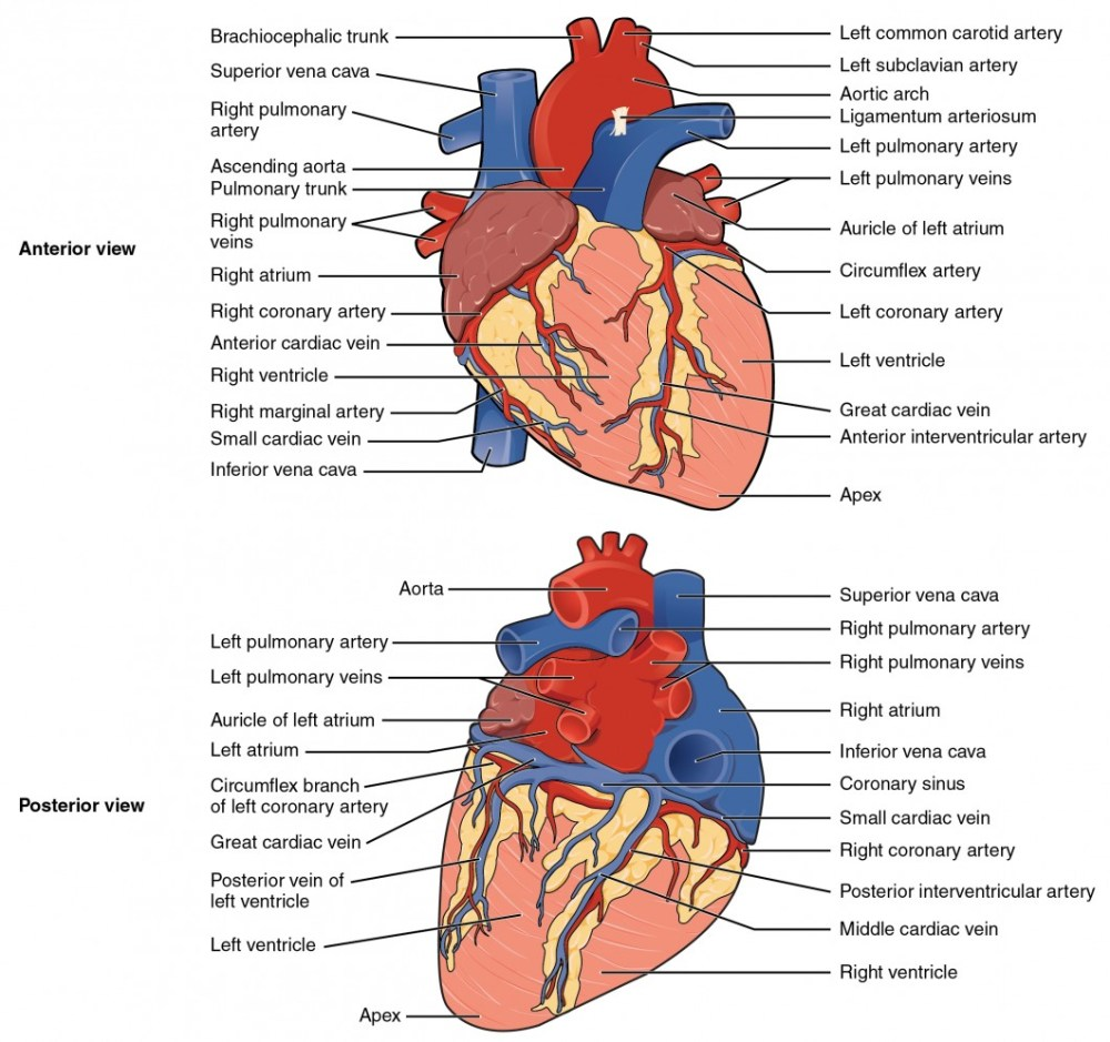 medium resolution of the top panel shows the anterior view of the heart and the bottom panel shows the