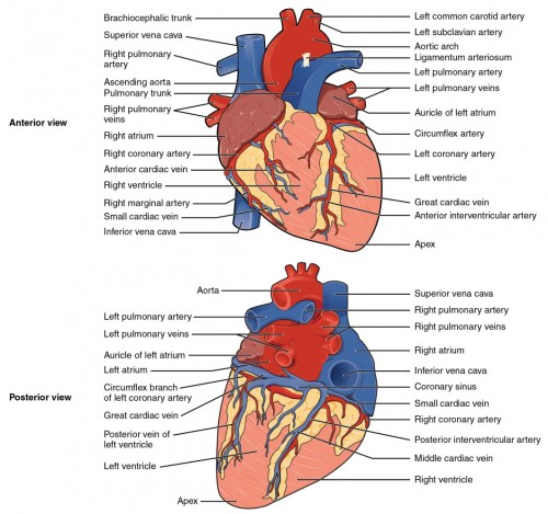 small resolution of the top panel shows the anterior view of the heart and the bottom panel shows the