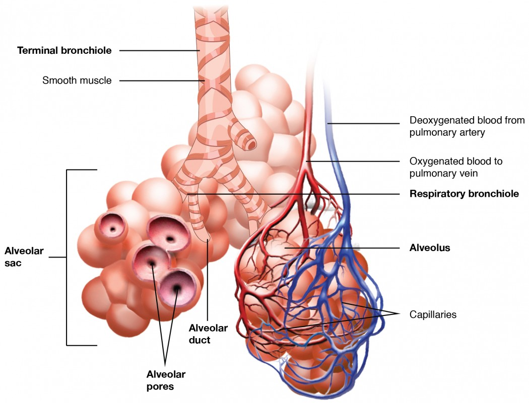 hight resolution of this image shows the bronchioles and alveolar sacs in the lungs and depicts the exchange of