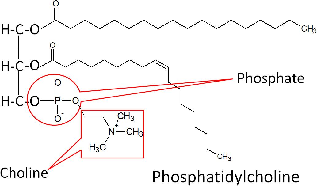 Diagram Of Nitrogen 2 36 Phospholipids Nutrition Flexbook