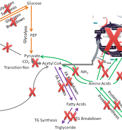 figure 7 342 the metabolic pathways that are not performed or important in the red blood cells compared to extrahepatic tissues as a whole are crossed off2 [ 1130 x 876 Pixel ]