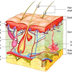 Skin System Diagram Ford E 350 Parts Hair And Nails Anatomy Physiology I