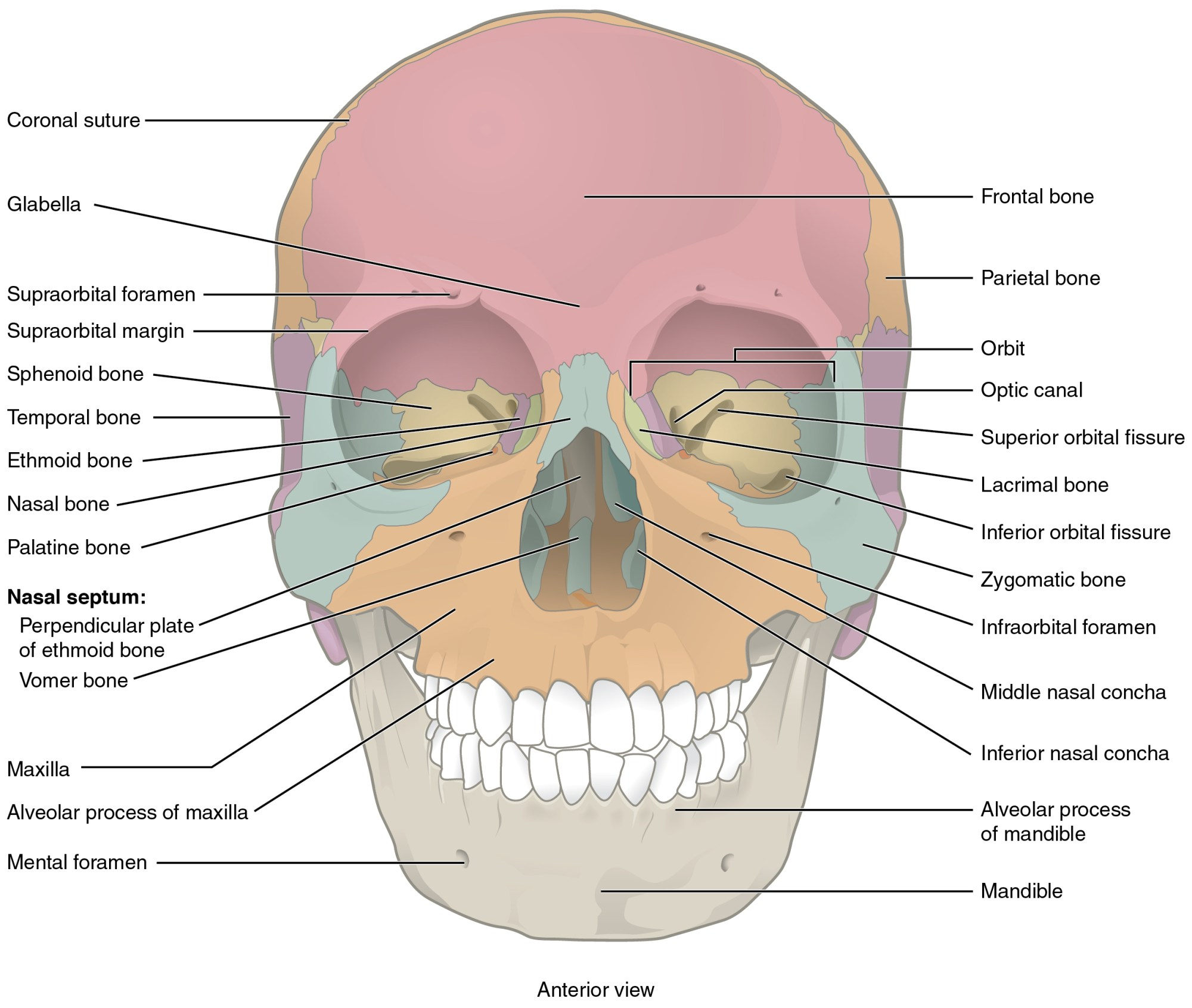 hight resolution of this image shows the anterior view from the front of the human skull