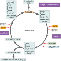 Calvin Cycle Diagram Electrical Home Wiring The Energy To Power Comes From Ace