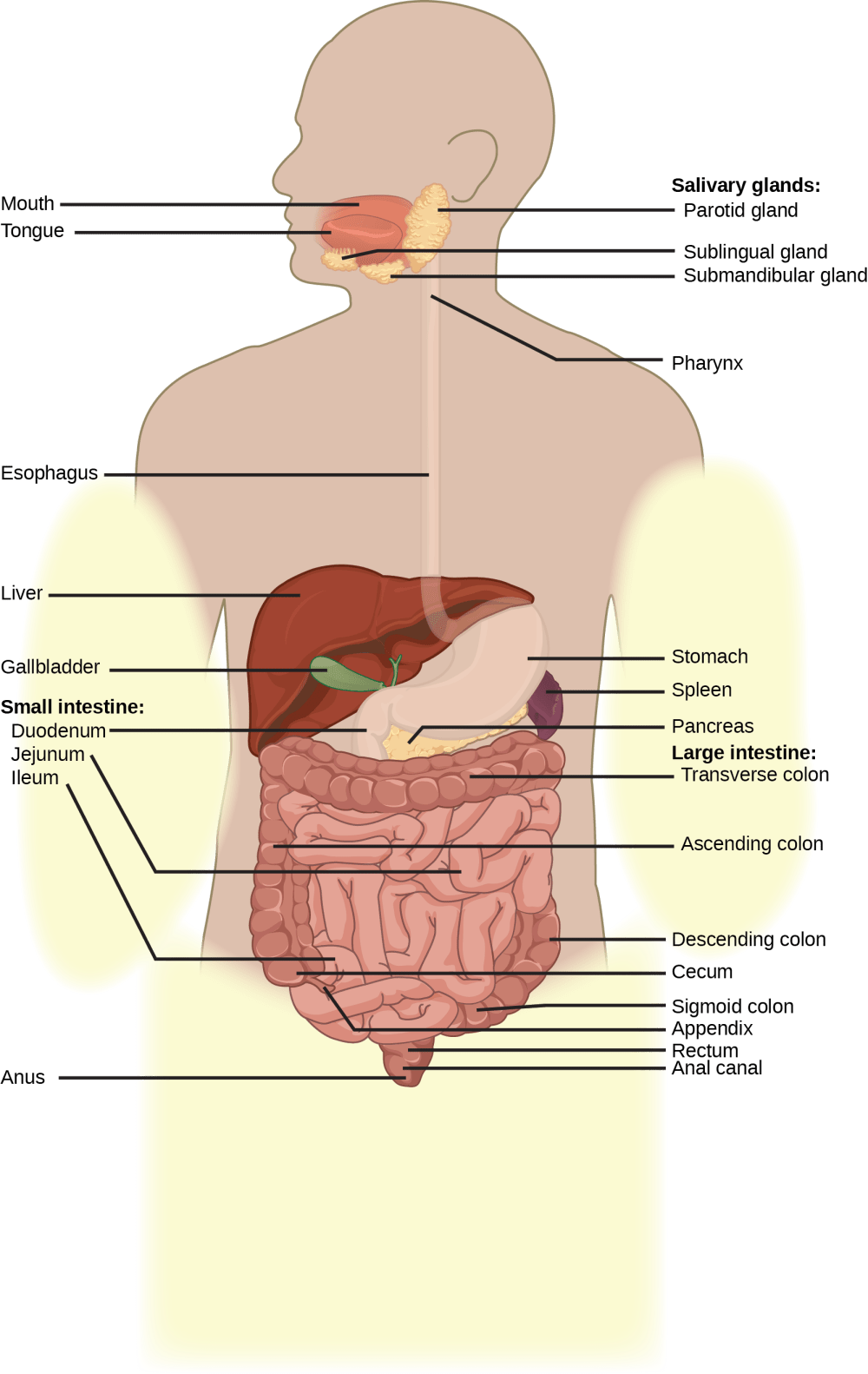 medium resolution of illustration shows the human lower digestive system which begins with the stomach a sac