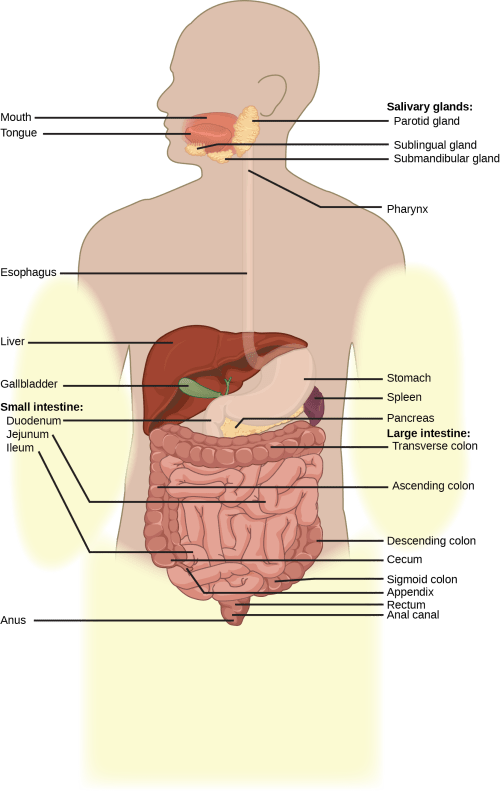 small resolution of illustration shows the human lower digestive system which begins with the stomach a sac
