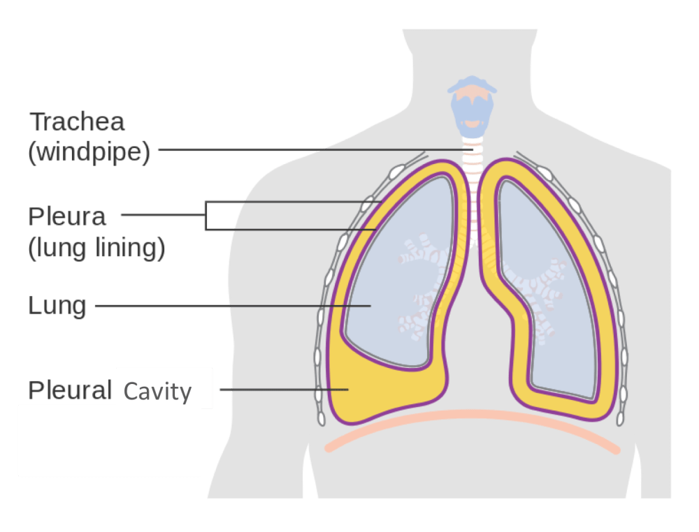 medium resolution of  pelvic organs and the wall of the cavity the serous membranes therefore provide additional protection to the viscera they enclose by reducing friction