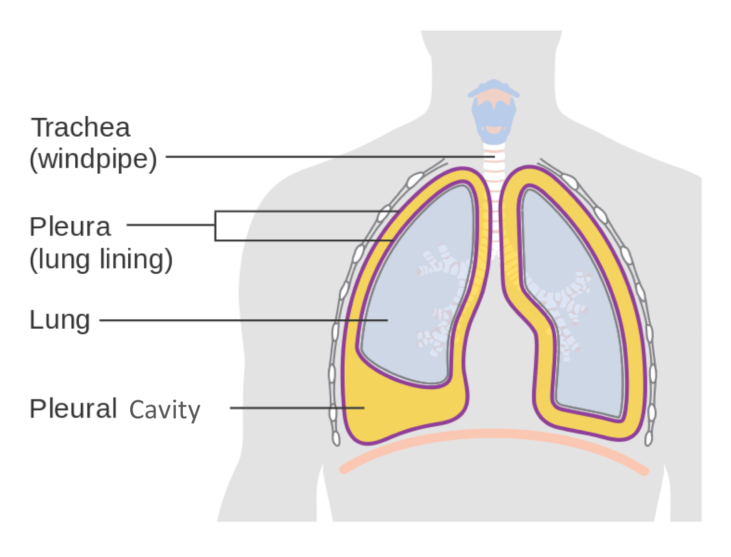hight resolution of  pelvic organs and the wall of the cavity the serous membranes therefore provide additional protection to the viscera they enclose by reducing friction