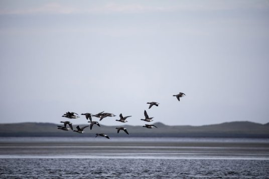 Global warming is altering the Pacific black brant's behavior. About one-third of the population arriving at the Izembek National Wildlife Refuge now stays for the winter, increasing every year by about 7 percent, according to research.