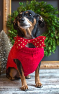 DIY Bow Tie For Your Pet - Lia Griffith