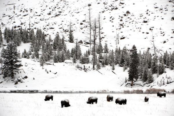 No Bison for Fort Peck as Annual Yellowstone Kill Winds Down