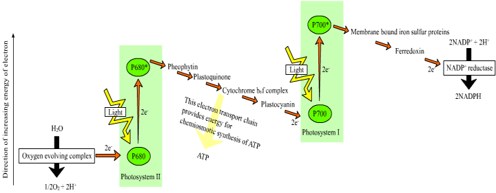 photosynthesis z scheme diagram wiring for electric fan bisc110 s10 series 3 experiment 9 hill reaction openwetware image from http commons wikimedia org wiki file png