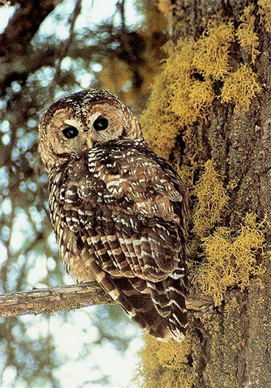 Lawsuit Launched to Overturn Trump Administration's Denial of Protection to California Spotted Owls