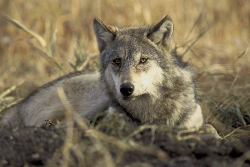 Idaho Agreement Restricts Wolf-killing, Bans Use of M-44 Cyanide Bombs