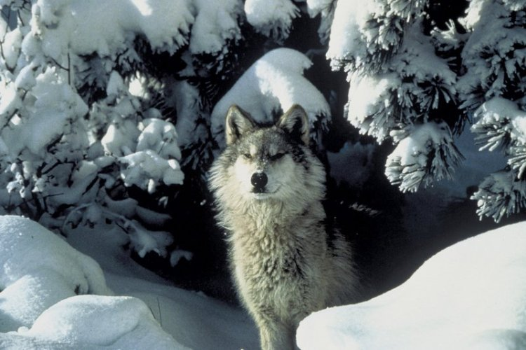 U.S. Fish and Wildlife Service Ignores Biden Executive Order to Review Trump Wolf Delisting