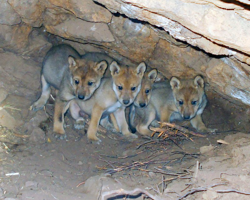New Mexico Wolf Pack Destroyed After Alpha Female Killed, Yearling Flees