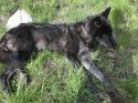 Washington Agency Issues Kill Order on Another Endangered Wolf Pack