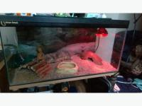 female leopard gecko and tank and accesories&heat lamp ...