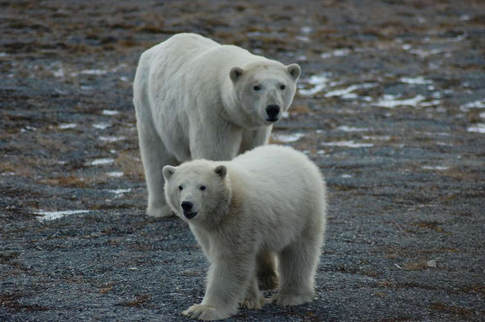 medium resolution of first tally of u s russia polar bears finds a healthy population