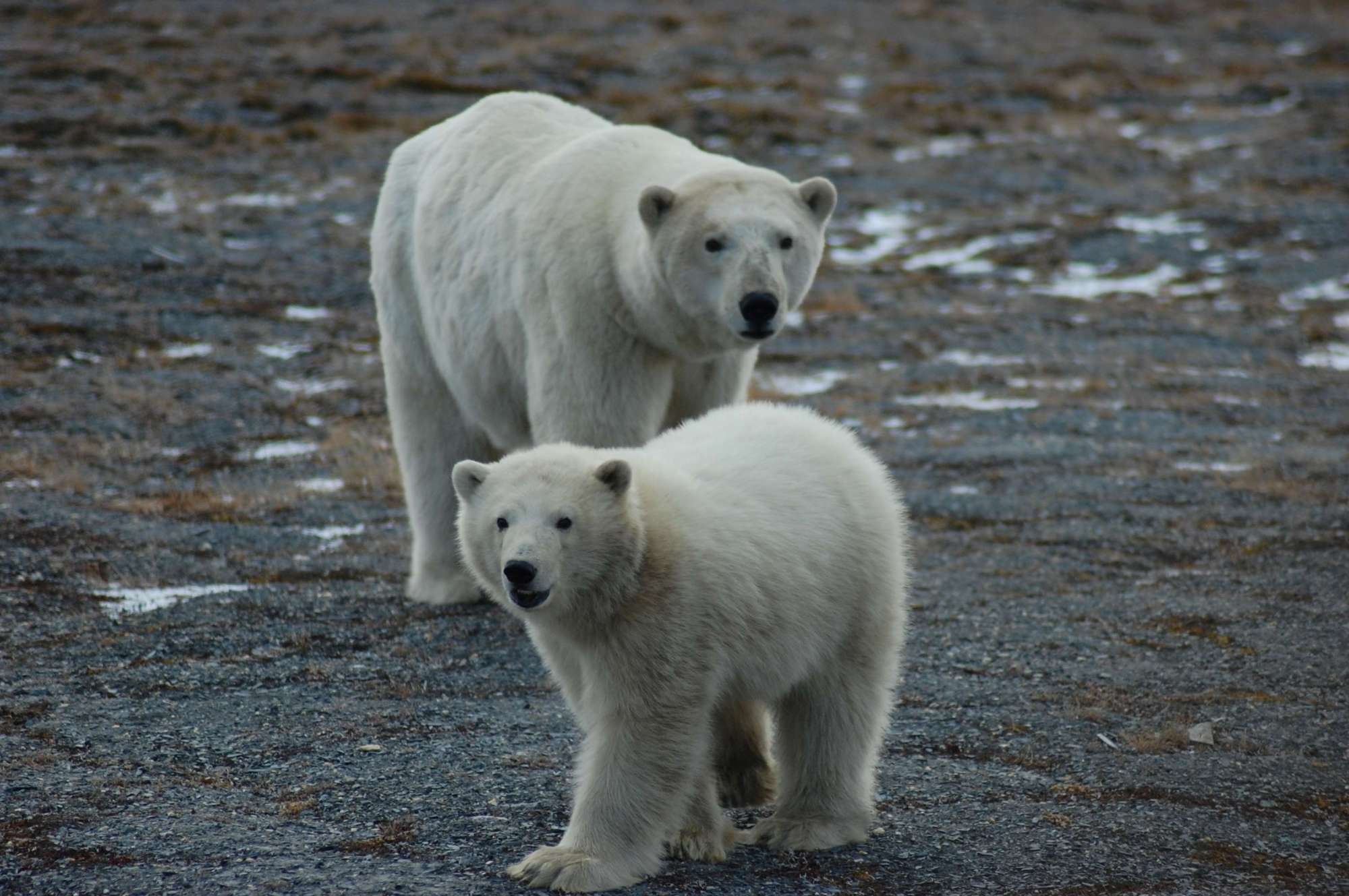 hight resolution of first tally of u s russia polar bears finds a healthy population